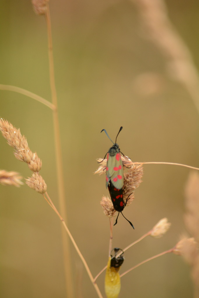 Two Burnets and chrysalis by ziggy77