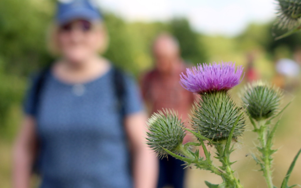 Thistle by boxplayer