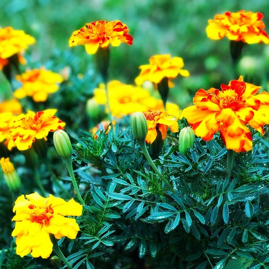 Mary's Marygolds by yogiw