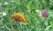 18th Jul 2018 - Viceroy Butterfly