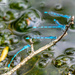 Damselflies (best viewed large)