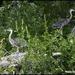 Three young herons
