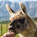 Guido the Llama