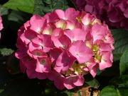 19th Jul 2018 -  My Pink Hydrangea