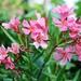 Oleander by rosie00