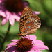 7-17 great spangled fritillary2