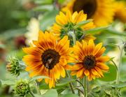 19th Jul 2018 - Sunflowers