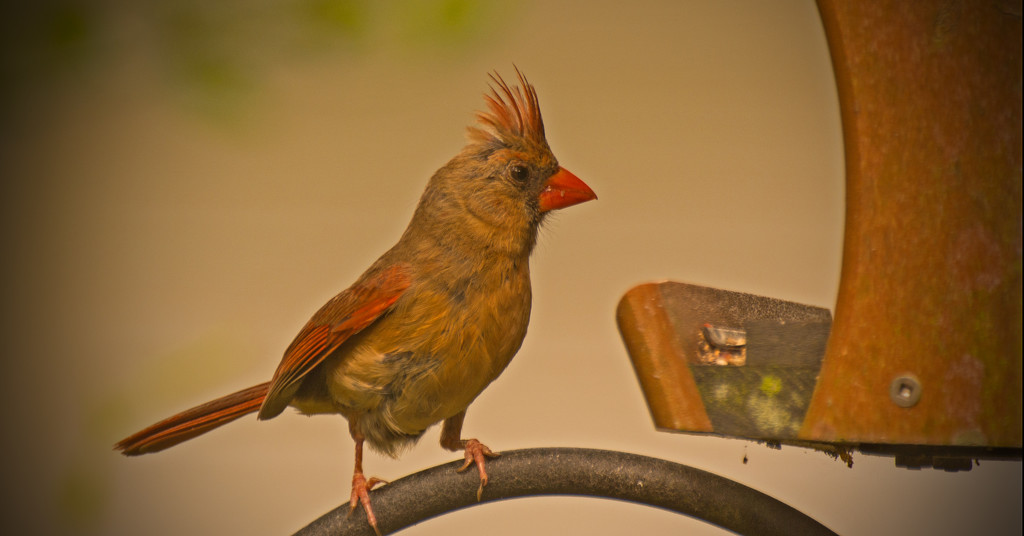 Cardinal, Checking out the Feeder! by rickster549
