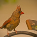 Cardinal, Checking out the Feeder!