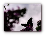 20th Jul 2018 - Butterfly And Bokeh