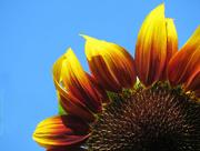 20th Jul 2018 - Cheerful Sunflower