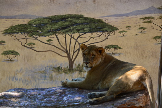 resting lion in Albuquerque, N.M. (@ the zoo.) by bigdad