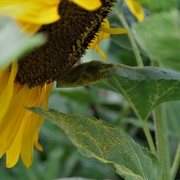20th Jul 2018 - My Sunflower is Sulking