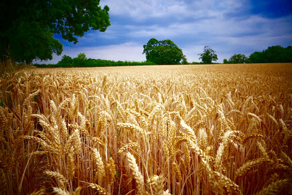 Fields of Gold by carole_sandford