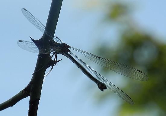 DSCN1566 silhouette dragonfly by marijbar