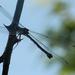 DSCN1566 silhouette dragonfly