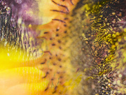 20th Jul 2018 - sunflower revisited