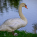 Swan on the Edge