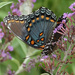 Red-spotted Purple by annepann