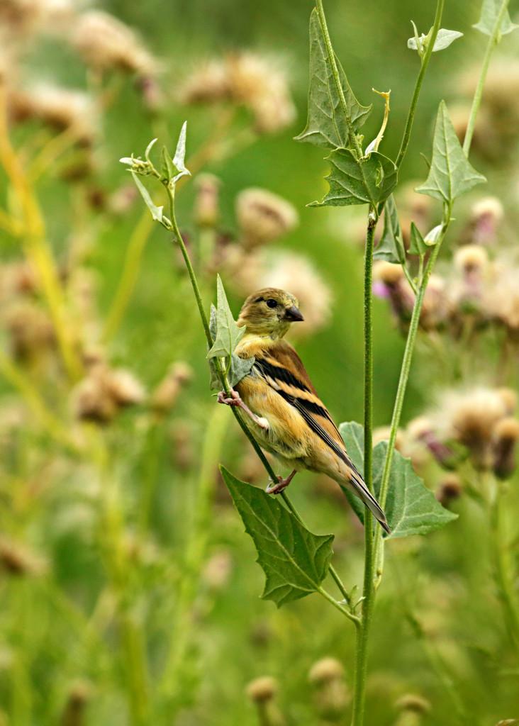 Little Birdie by gq