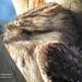 tawny frogmouth by koalagardens