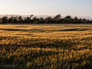 14th Jul 2018 - Sunset over the wheat fields
