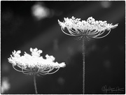 15th Jul 2018 - Queen Anne's Lace