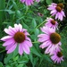 Coneflowers by mittens