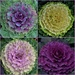 Ornamental Kale ~ Up Close......