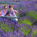 Lavender Festival by kwind