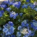 Mid Blue Lacecap