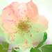A colourful Rose
