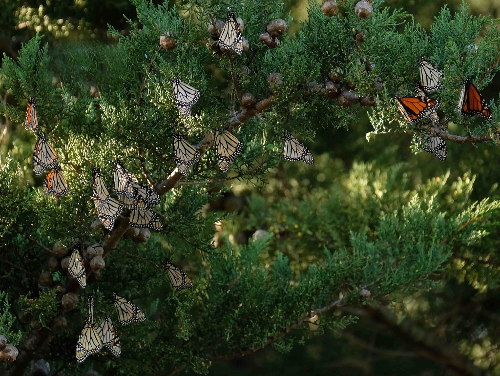 How many butterflies? by maureenpp