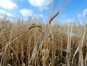 21st Jul 2018 - Ripening Barley