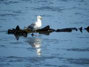 22nd Jul 2018 - Seagull On Alki Beach