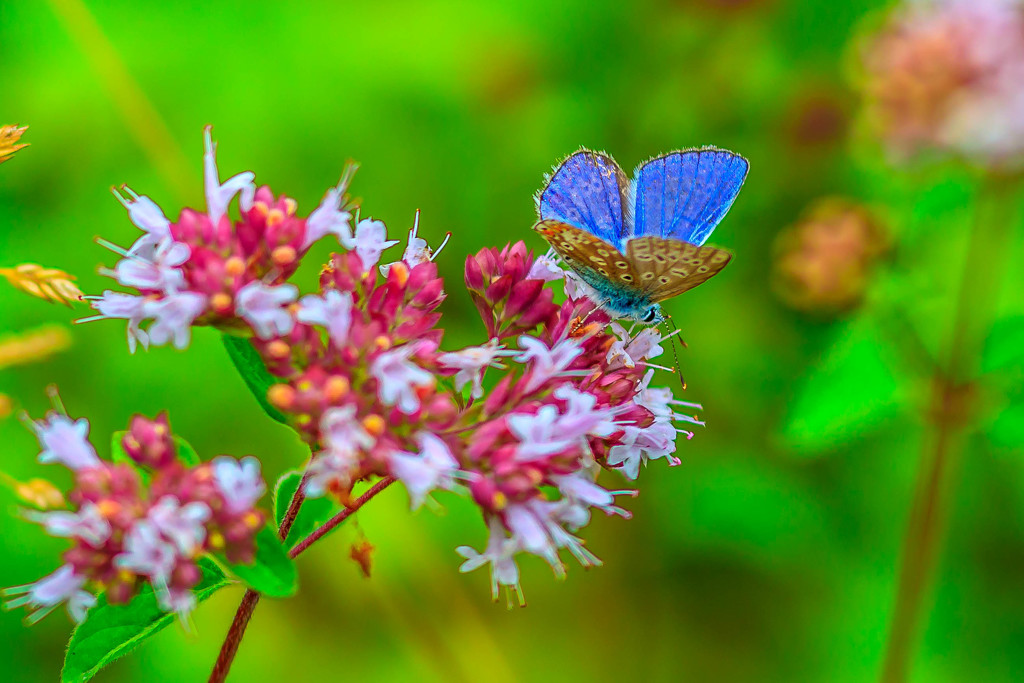 Common Blue-wings open by padlock