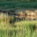 Ducks in the backwater