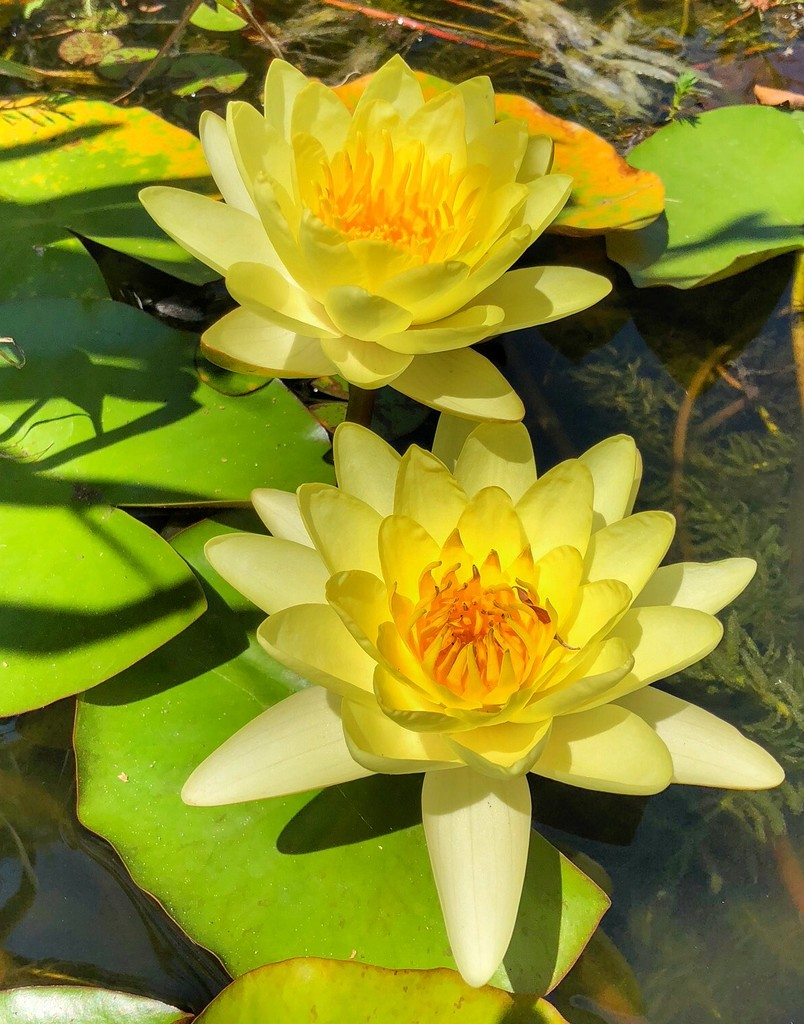 Pond Lilies by khawbecker