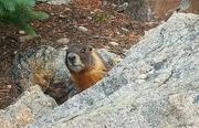 22nd Jul 2018 - Marmot