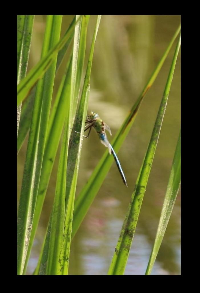 Dragonfly by oldjosh