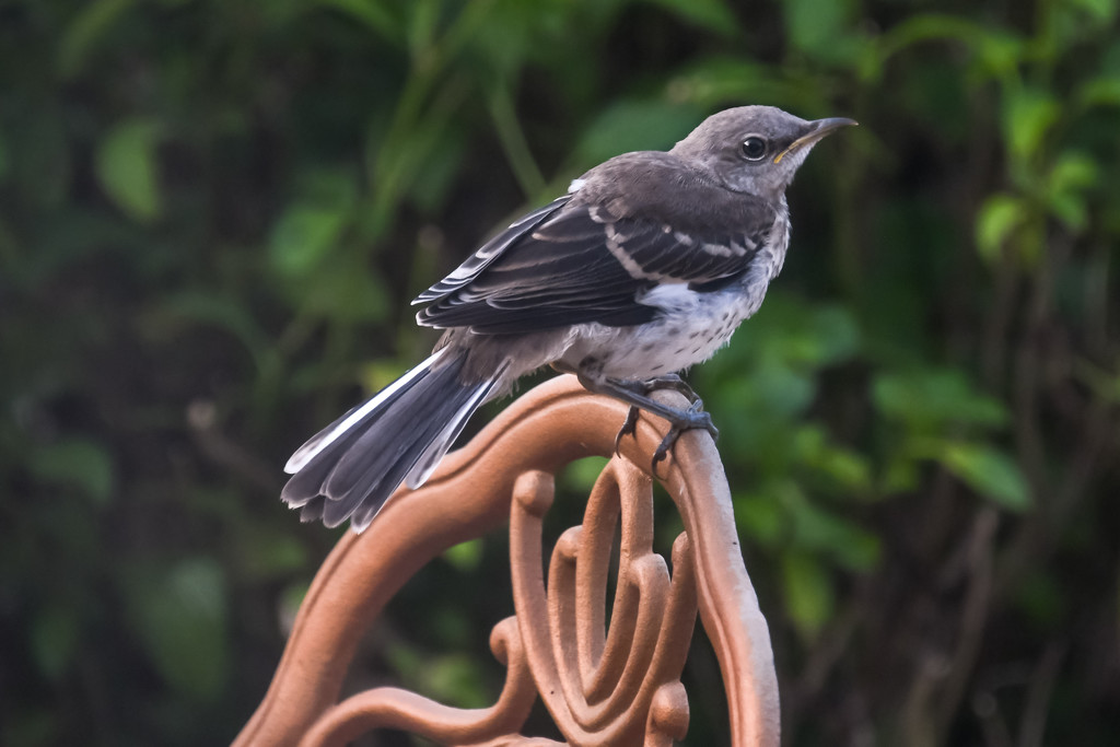 Baby Mockingbird by danette