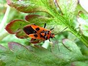 23rd Jul 2018 - Cinnamon bug - Corizus hyoscyami