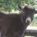 Billy Goat Visitor