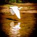 Egrets by swillinbillyflynn