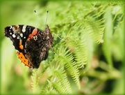 24th Jul 2018 - Just a butterfly on a leaf.