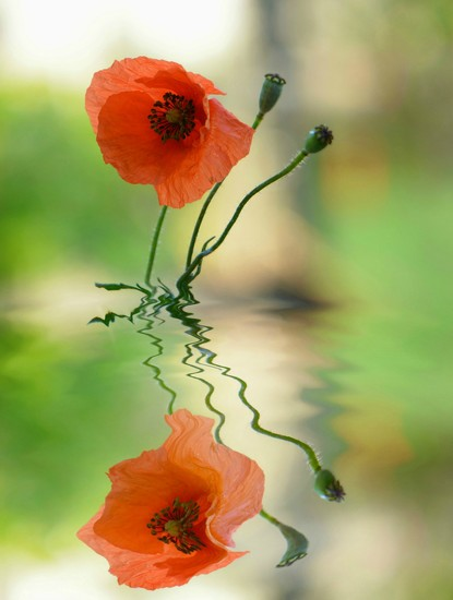 Poppy wild #2............ by ziggy77