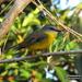 Yellow Robin by koalagardens