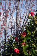 23rd Jul 2018 - Winter Garden X - Camellia & Cherry
