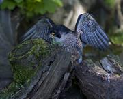 25th Jul 2018 - Peregrine Falcon
