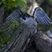 Peregrine Falcon by shepherdmanswife